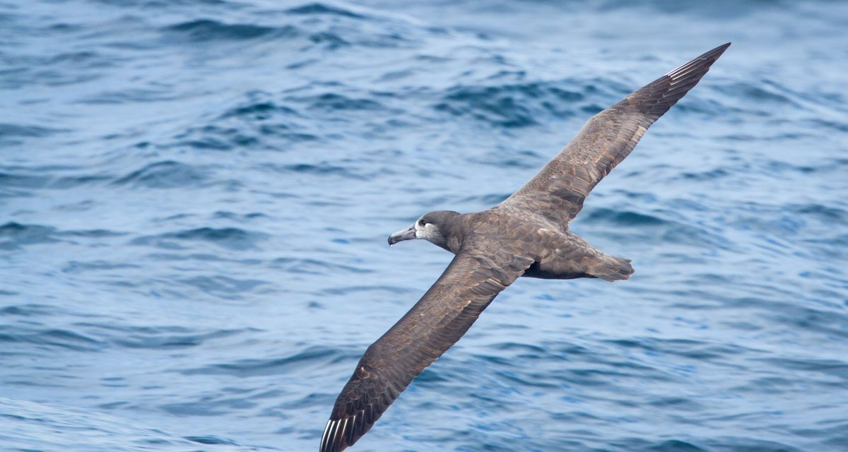 Photographing Pelagic Birds
